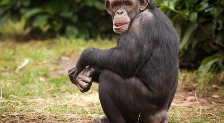 """بالفيديو: يفعل ما لا يمكن تصوره """"عبقرية الشمبانزي"""""""