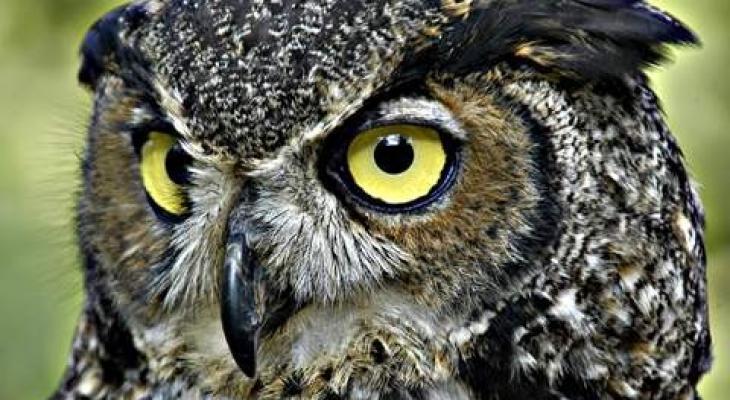 """شاهدوا: 10 معلومات صادمة لا تعرفها عن طائر""""البومة"""""""