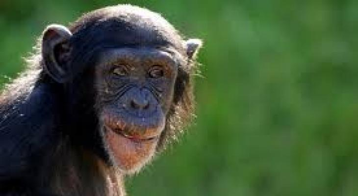 """دراستان على """"القرود"""" تؤكدان إمكانية تكون أجسام مضادة تقي من تجدد الإصابة بـ""""فيروس كورونا"""""""