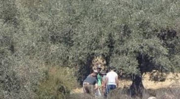 مستوطنون يعتدون على المواطنينأثناء قطف الزيتون