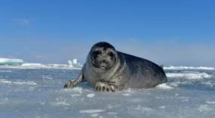 """بالفيديو: آلاف حيوانات """"الفقم"""" تخرج على ثلج بحيرة البايكال"""