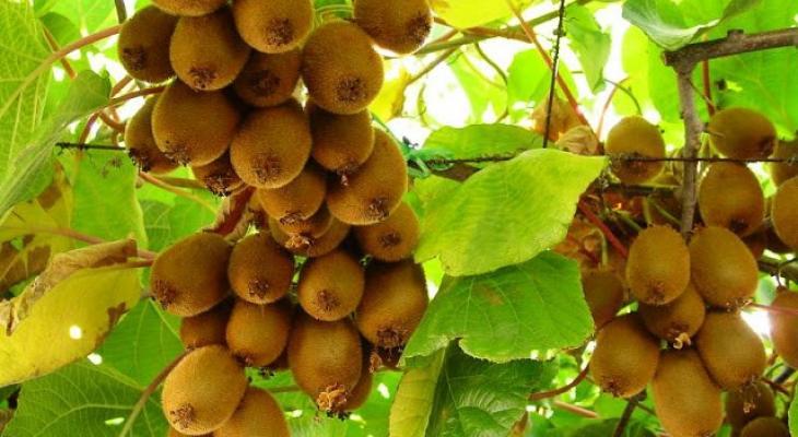 الصين   الفاكهة الذهبية تشعل نزاعا دوليا