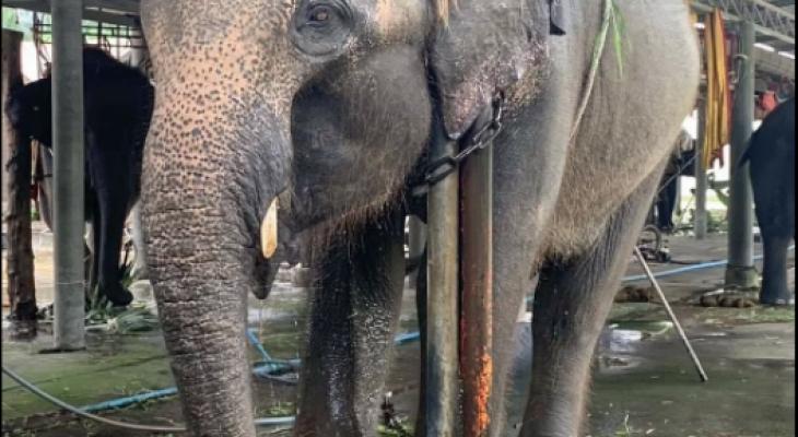 """العثور على أفيال """"مقيدة بالسلاسل حول أعناقها"""" بمعسكر تايلاندي"""