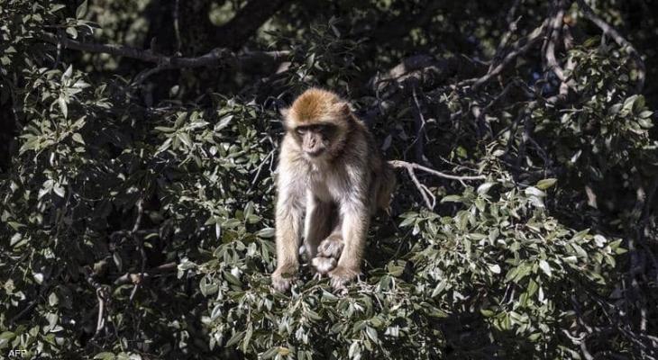 الفيروس القردي.