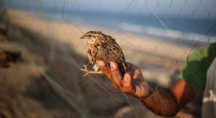 صيد طائر السمان