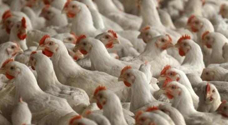 الدجاج
