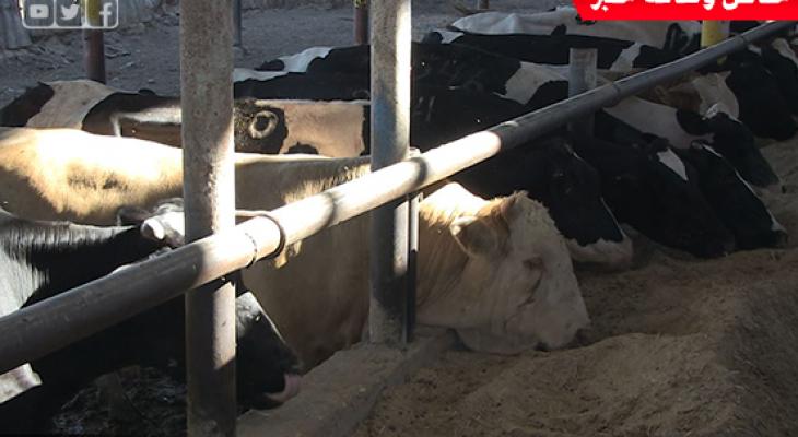بالفيديو: ركود حاد يضرب أسواق المواشي بغزّة وعزوف كبير عن شراء أضاحي العيد