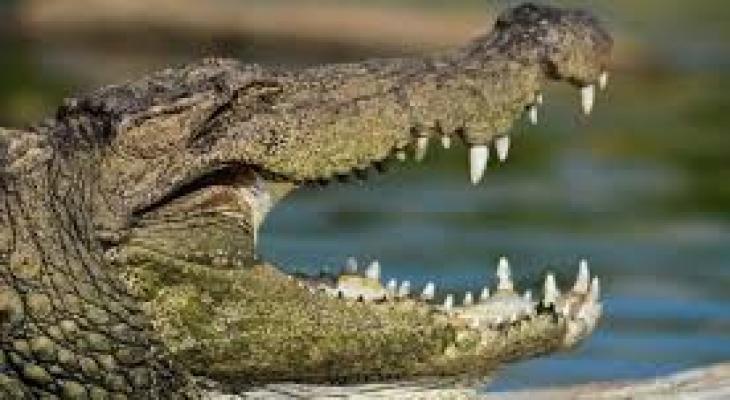 شاهدوا : قرية هندية تقيم جنازة حاشدة لتمساحها المعمر المحبوب!