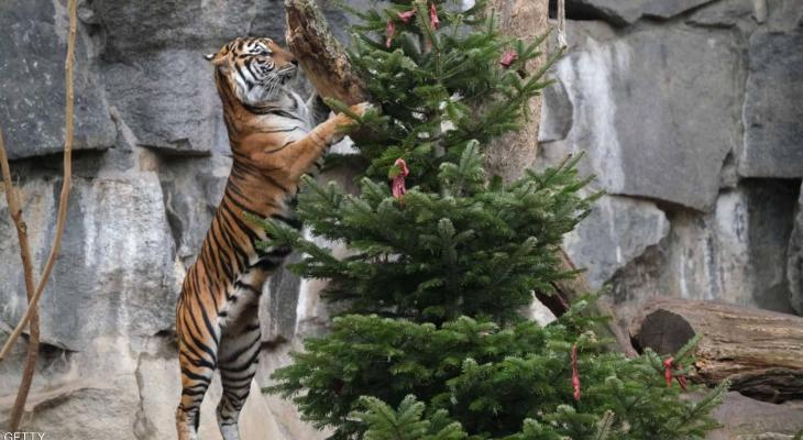 """شاهدوا : حيوانات تتحول إلى """"وجبة شهية"""" أثناء الاحتفال بعيد الميلاد"""