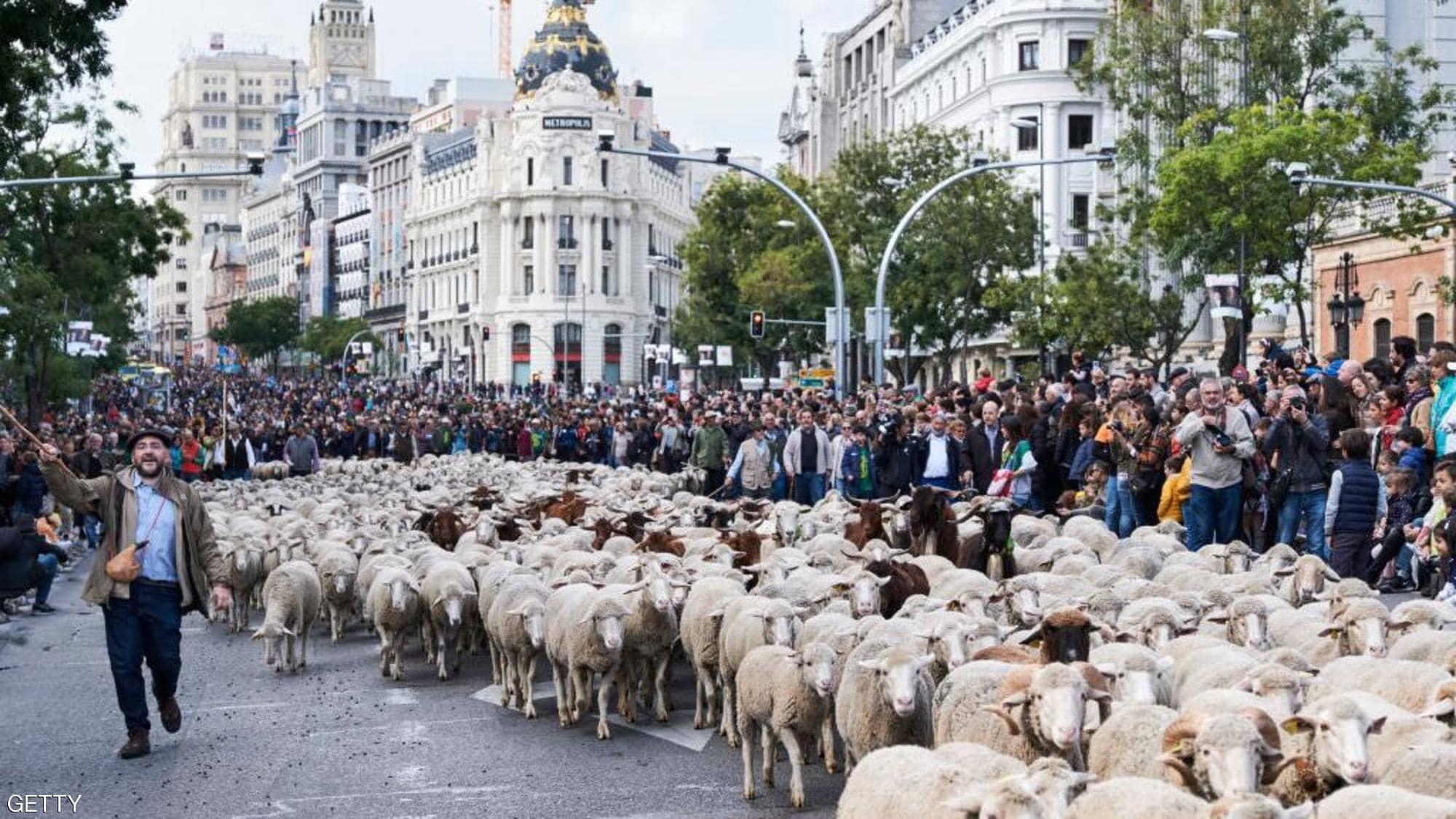 بالصور: الأغنام تغزو مدريد