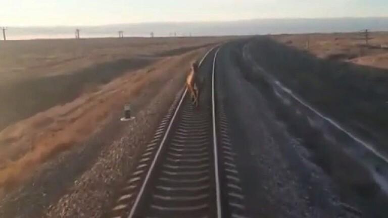 """بالفيديو والصور: """"الجمل العنيد"""" يؤخر القطار ساعة"""