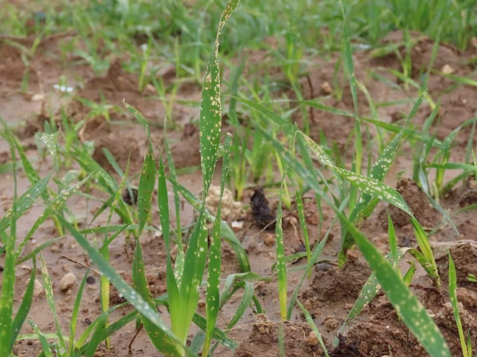 """الزراعة تفنّد ادعاءات """"إسرائيل"""" حول رش المبيدات الضارة شرق غزة"""