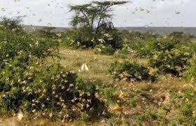 """شاهدوا: بعد """"الصومال"""".. مليارات من """"الجراد"""" تجتاح """"كينيا"""""""