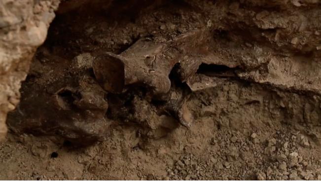 580822-عظام-متحجرة-لخيل-من-العصر-الجليدى.png