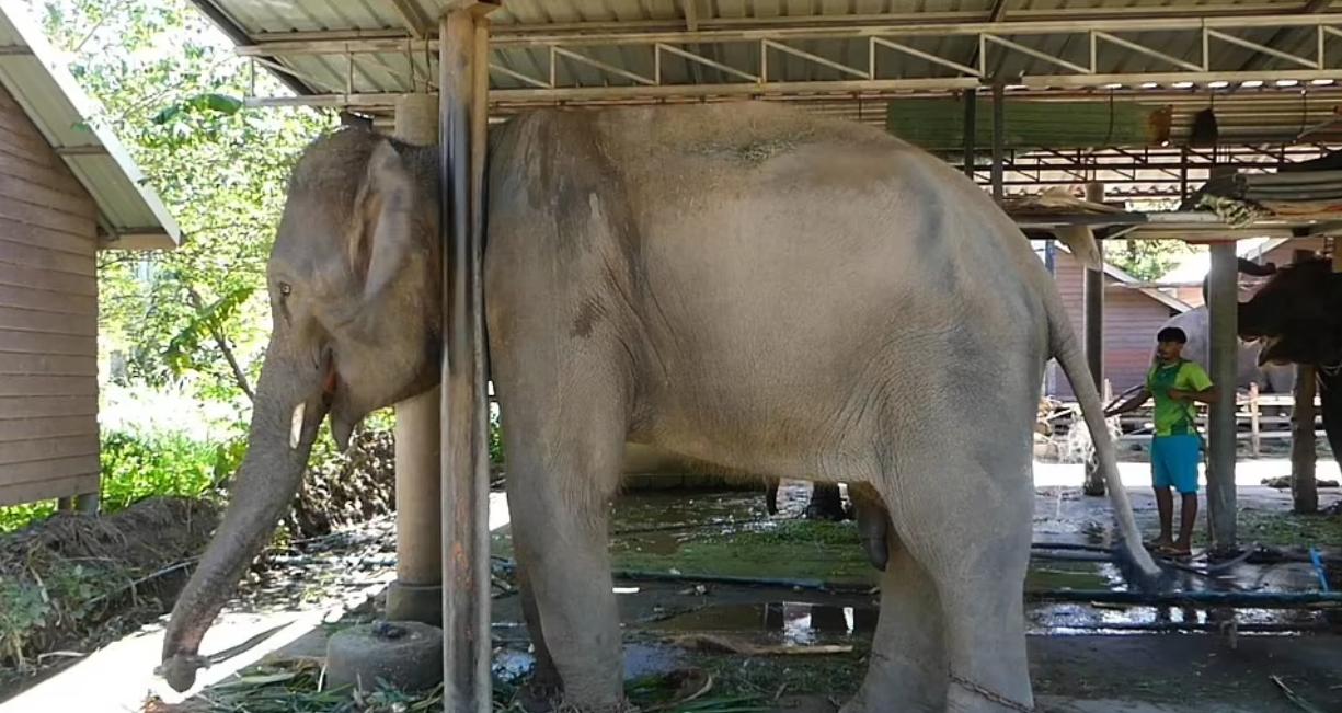 2071689-تقيد-احد-الفيلة.png