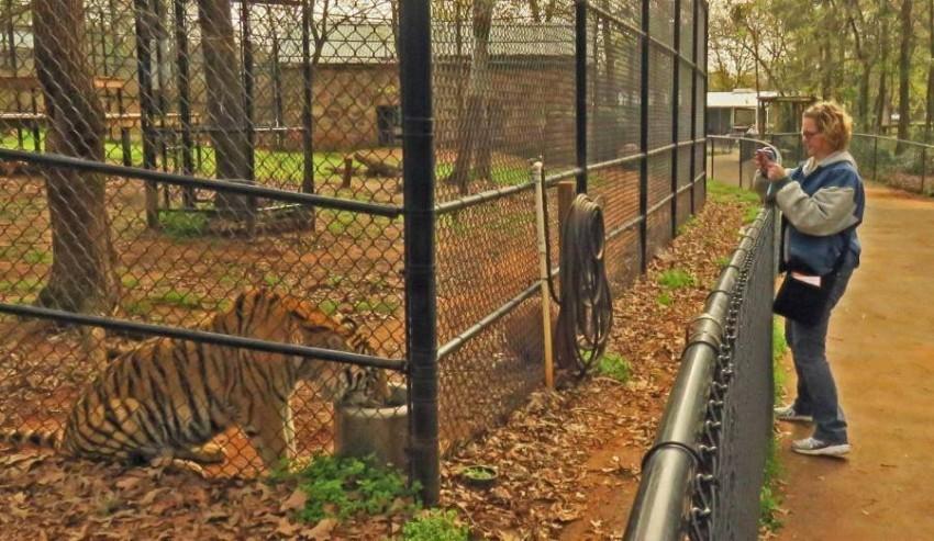 140455-النمر-بحديقة-الحيوان.jpg