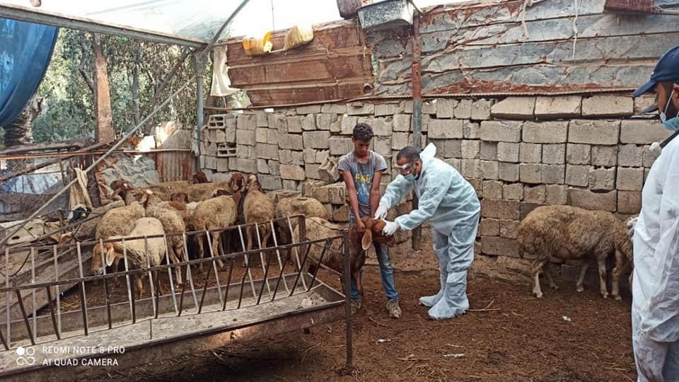 """زراعة غزة تشرع بحملة للتطعيم ضد مرض """"الحمى المالطية"""""""